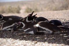 Magellanic penguin in Patagonia Stock Images