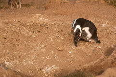 Magellanic Penguin in Patagonia Stock Images