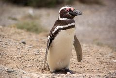 Magellanic penguin in Patagonia Royalty Free Stock Photography