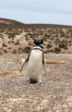 Magellanic penguin at the Patagonian coast. Stock Photography