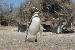 Magellanic Penguin, Punta Tombo, Argentina Stock Image
