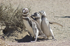 Magellanic Penguin, Punta Tombo, Argentina Royalty Free Stock Images