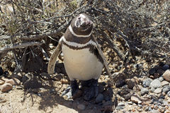 Magellanic Penguin, Punta Tombo, Argentina Stock Photos