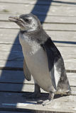 Magellanic Penguin, Punta Tombo, Argentina Stock Images