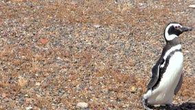 Magellanic Penguin of Punta Tombo Patagonia stock video footage