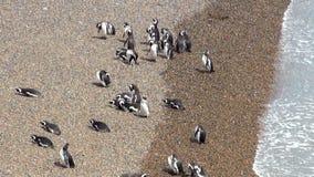Magellanic Penguin of Punta Tombo Patagonia stock footage