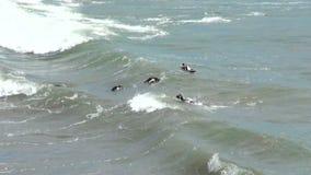 Magellanic Penguin of Punta Tombo Patagonia stock video