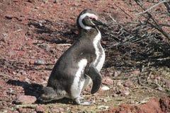 Magellanic penguin on red stones stock image