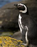 Magellanic Penguin on the Rocks. A Magellanic Penguin standing on a rock - Falklands Stock Photography