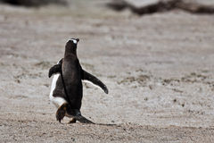 Magellanic penguin runs out of camera Royalty Free Stock Image