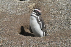 Magellanic penguin on sand stock image