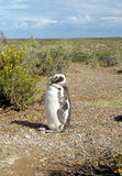 Magellanic penguin on the shore Stock Photos