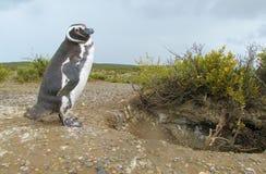 Magellanic penguin on shore royalty free stock photos