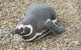 Magellanic penguin sleeping on stones royalty free stock photo