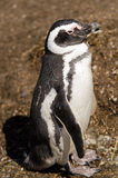 Magellanic Penguin in southern Patagonia Royalty Free Stock Photos