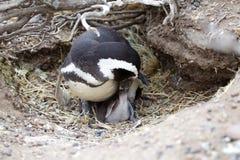 The Magellanic penguin Spheniscus magellanicus at Punta Tombo in the Atlantic Ocean, Patagonia, Argentina. The Magellanic penguin Sphenicus magellanicus with Stock Photos