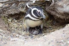 The Magellanic penguin Spheniscus magellanicus at Punta Tombo in the Atlantic Ocean, Patagonia, Argentina. The Magellanic penguin Sphenicus magellanicus with Royalty Free Stock Images
