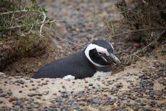 The Magellanic penguin Spheniscus magellanicus at Punta Tombo in the Atlantic Ocean, Patagonia, Argentina. The Magellanic penguin Sphenicus magellanicus in the Stock Photo