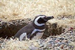 The Magellanic penguin Spheniscus magellanicus at Punta Tombo in the Atlantic Ocean, Patagonia, Argentina. The Magellanic penguin Sphenicus magellanicus in the Stock Photos