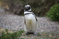 The Magellanic penguin Spheniscus magellanicus at Punta Tombo in the Atlantic Ocean, Patagonia, Argentina. The Magellanic penguin Sphenicus magellanicus at Punta Stock Photography