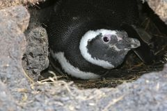 Magellanic penguin (Spheniscus magellanicus) Stock Photography