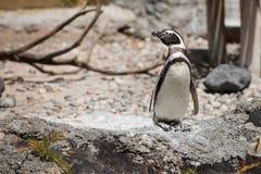 Magellanic Penguin (Spheniscus magellanicus). Stock Images