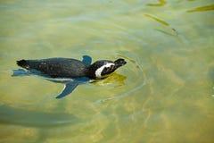 Magellanic Penguin (Spheniscus magellanicus). Royalty Free Stock Photo