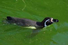 Magellanic Penguin (Spheniscus magellanicus) Royalty Free Stock Photo