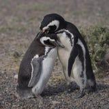 Magellanic penguin (Spheniscus magellanicus) Stock Photography