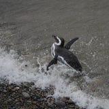 Magellanic penguin (Spheniscus magellanicus) Royalty Free Stock Photos