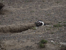 Magellanic penguin (Spheniscus magellanicus) Stock Image
