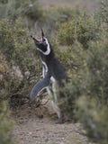 Magellanic penguin (Spheniscus magellanicus) Stock Images