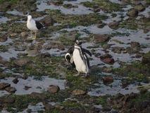 Magellanic penguin (Spheniscus magellanicus) Royalty Free Stock Image