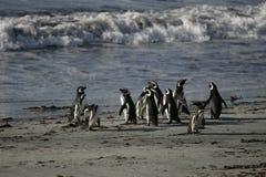 Magellanic penguin, Spheniscus magellanicus Royalty Free Stock Image