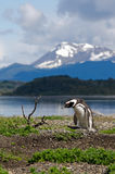 Magellanic Penguin (Spheniscus magellanicus). A Magellanic Penguin (Spheniscus magellanicus) on Martillo Island in the Beagle Channel, Tierra Del Fuego Royalty Free Stock Photography