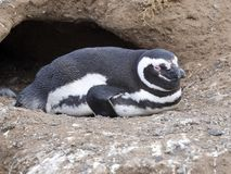 Magellanic Penguin, Spheniscus magellanicus, nesting on Isla Magdalena, Patagonia, Chile Royalty Free Stock Photography