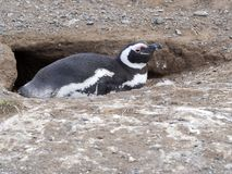 Magellanic Penguin, Spheniscus magellanicus, nesting on Isla Magdalena, Patagonia, Chile Stock Photography