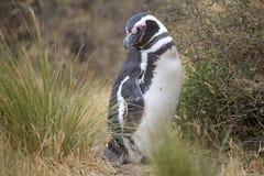 The Magellanic penguin Spheniscus magellanicus at Punta Tombo in the Atlantic Ocean, Patagonia, Argentina. The Magellanic penguin Sphenicus magellanicus at Punta Stock Photos