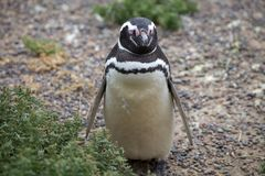 The Magellanic penguin Spheniscus magellanicus at Punta Tombo in the Atlantic Ocean, Patagonia, Argentina. The Magellanic penguin Sphenicus magellanicus at Punta Royalty Free Stock Photography