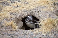 The Magellanic penguin Spheniscus magellanicus at Punta Tombo in the Atlantic Ocean, Patagonia, Argentina. The Magellanic penguin Sphenicus magellanicus at Punta Stock Photo
