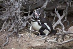 The Magellanic penguin Spheniscus magellanicus at Punta Tombo in the Atlantic Ocean, Patagonia, Argentina. The Magellanic penguin Sphenicus magellanicus at Punta Royalty Free Stock Photo