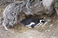 The Magellanic penguin Spheniscus magellanicus at Punta Tombo in the Atlantic Ocean, Patagonia, Argentina. The Magellanic penguin Sphenicus magellanicus at Punta Royalty Free Stock Image