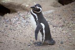 The Magellanic penguin Spheniscus magellanicus at Punta Tombo in the Atlantic Ocean, Patagonia, Argentina. The Magellanic penguin Sphenicus magellanicus at Punta Royalty Free Stock Images