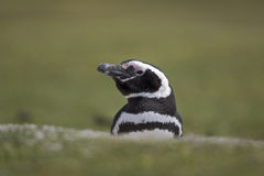 Magellanic penguin, Spheniscus magellanicus Royalty Free Stock Photo