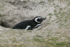 Magellanic penguin, Spheniscus magellanicus Royalty Free Stock Images