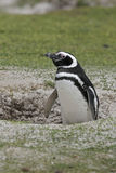 Magellanic penguin, Spheniscus magellanicus Royalty Free Stock Image