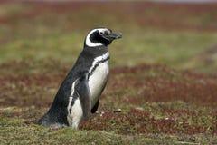 Magellanic penguin, Spheniscus magellanicus Stock Image