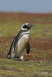 Magellanic penguin, Spheniscus magellanicus Stock Photography