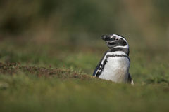 Magellanic penguin, Spheniscus magellanicus Royalty Free Stock Photography