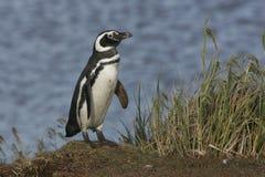 Magellanic penguin, Spheniscus magellanicus Stock Photo